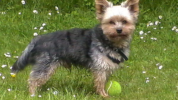 Yorkie - acting cool with my ball
