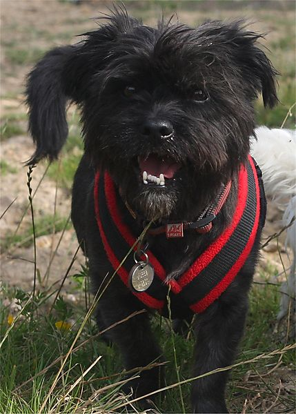 Shih Tzu Cross Zipper enjoying his walk