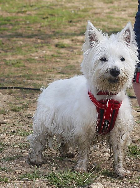 Kenzie - the Westie