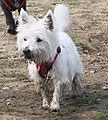 Kenzie,  West Highland White Terrier