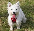 photo thumbnail West Highland White Terrier