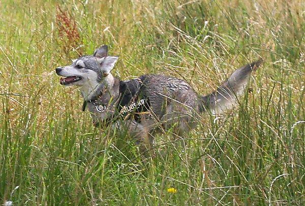 Alaskan Klee Kai Skye loves to run