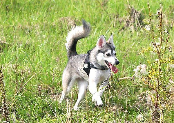 Alaskan Klee Kai, Skye