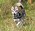photo thumbnail Alaskan Klee Kai