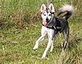 photo thumbnail Alaskan Klee Kai Skye