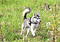 photo thumbnail Alaskan Klee Kai, Skye