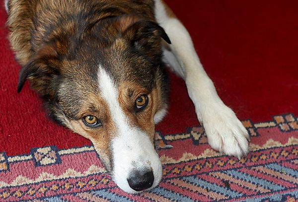 Smooth Collie Merlin