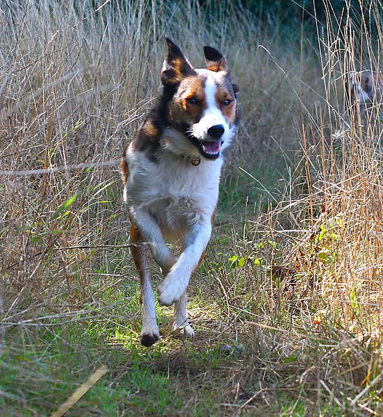 Welsh SmoothCoated Collie Merlin