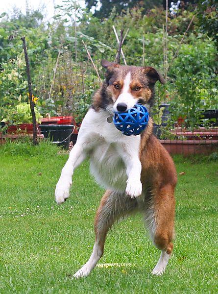 Collies love playing Ball