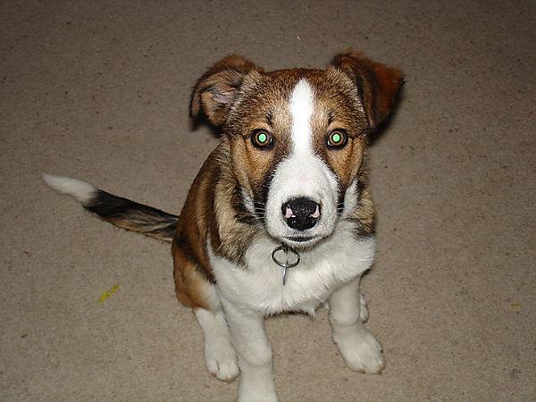 Merlin Welsh Collie Puppy