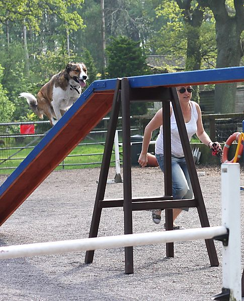 Collie Merlin on the Walker at Agility