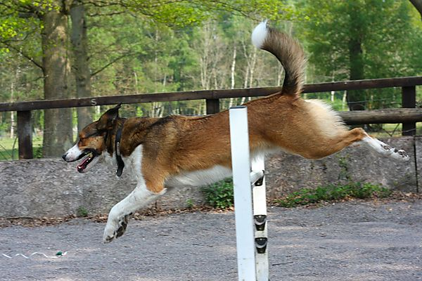 Collie Merlin going Jumps at Agility