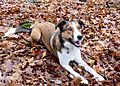 photo thumbnail Border Collie Merlin