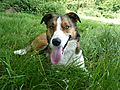 Merlin - Welsh Smooth Coated Collie