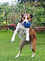 Collies love playing Ball