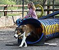 Merlin coming out Agility Tunnel