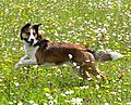 photo thumbnail Smooth Collie, Merlin,  having fun in a field of the wild flowers
