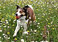 photo thumbnail Collie Merlin playing ball