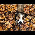 Merlin in the autumn leaves