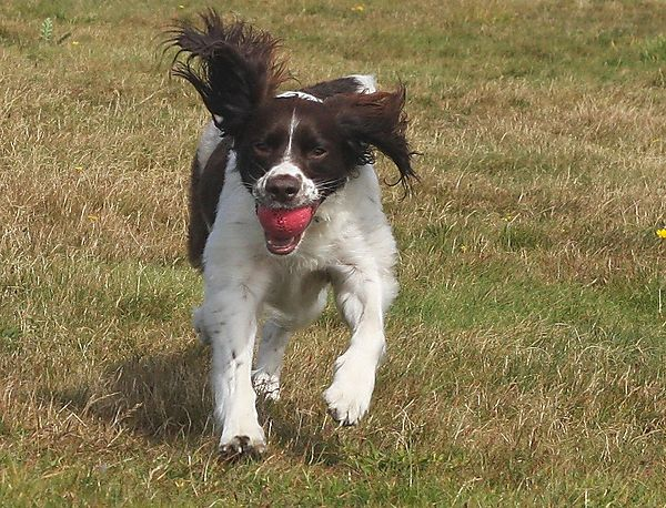 Molly the Springer Spaniel