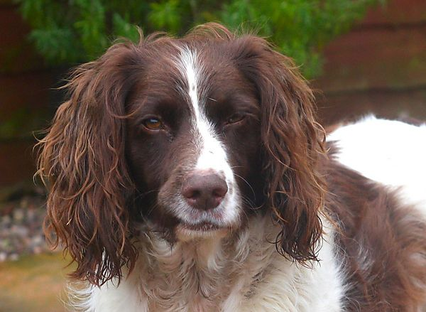 Portrait of English Springer Spaniel Monty