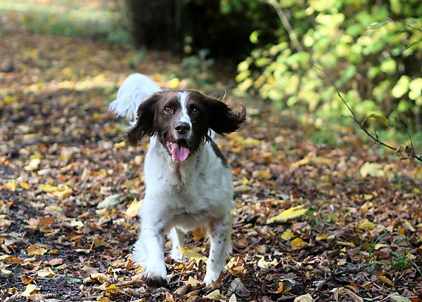 English Springer Spaniel Monty