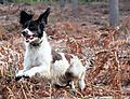 English Springer Spaniel Molly