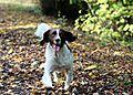 photo thumbnail English Springer Spaniel Monty