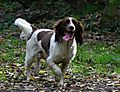 English Springer Spaniel Monty having fun