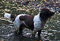 Monty English Springer Spaniel