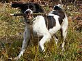 Molly English Springer Spaniel
