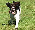 photo thumbnail Springer Spaniel Running