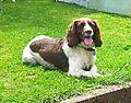 Springer Spaniel Monty