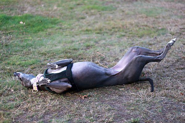 Gypsy the Greyhound Rolling