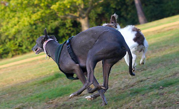 Springer/Lurcher Cross  and Greyhound