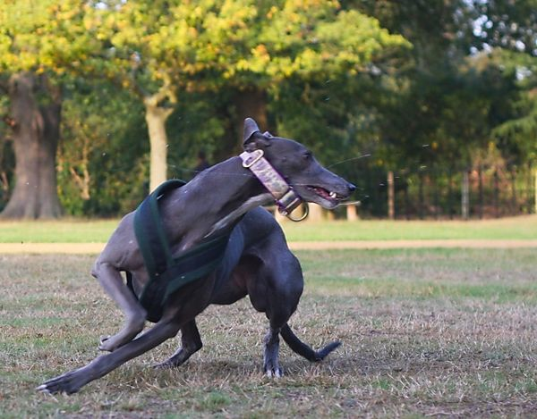 Greyhound Gypsy in Action
