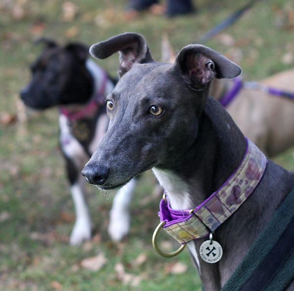 Stunning Gentle Gypsy the Greyhound