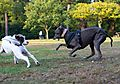 photo thumbnail Dogs playing