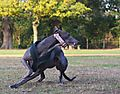 photo thumbnail Greyhound Gypsy in Action