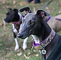 photo thumbnail Stunning Gentle Gypsy the Greyhound