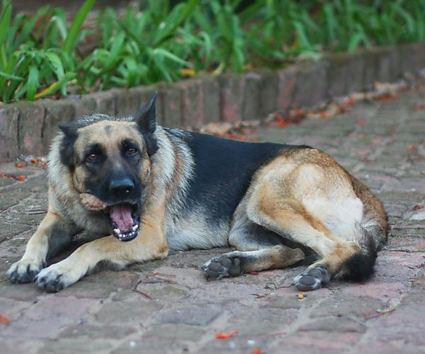 German Shepherd Zenta loves a bone