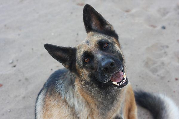 Zenta the German Shepherd
