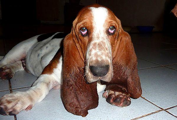 Basset hound Maurice