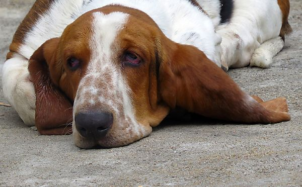 It's always snooze time for a Basset