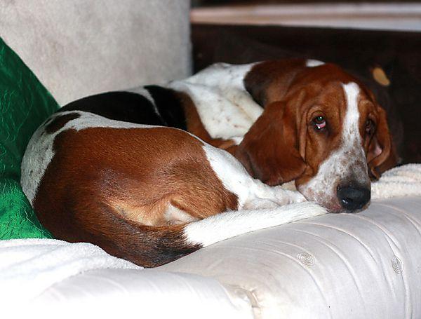 Lulu chilling, as Basset Hounds do