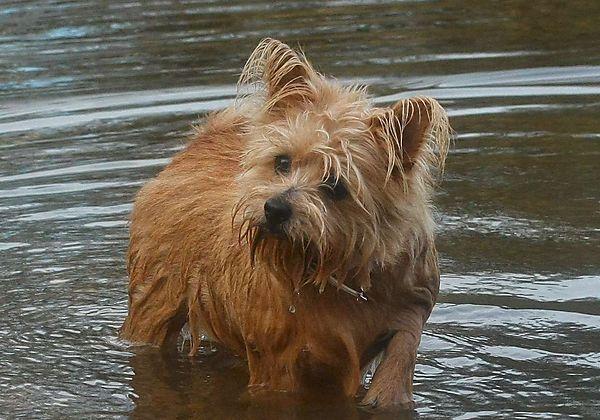 This Norfolk Terrier loves swimming