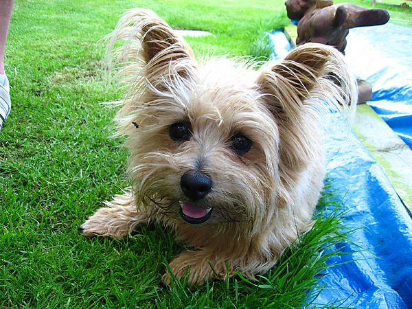 Sweetpea, Norfolk Terrier
