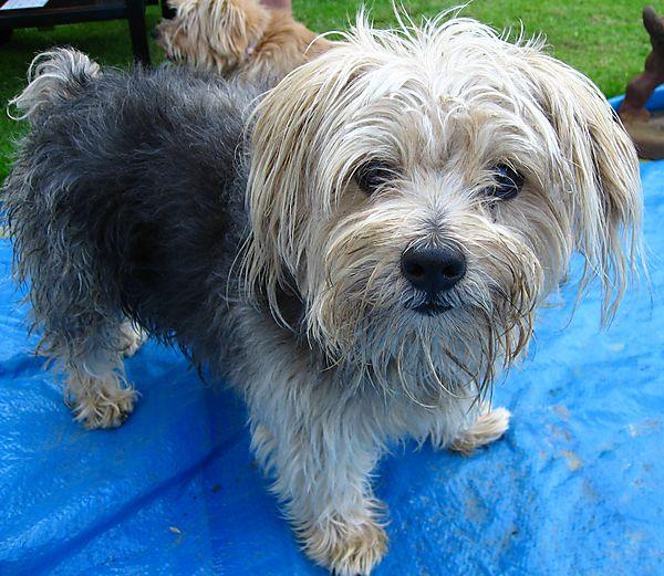 Lovely Norfolk Terrier Cornie