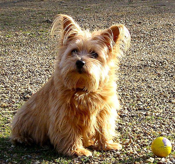 Norfolk Terrier Sweetpea guarding her ball