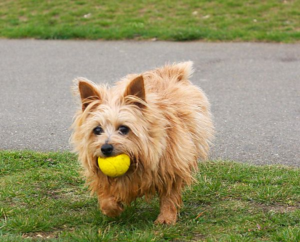 Norfolk Terrier  with her ball